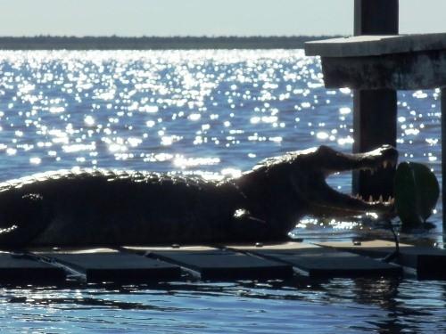 A caiman from Argentina's Laguna Blanca.