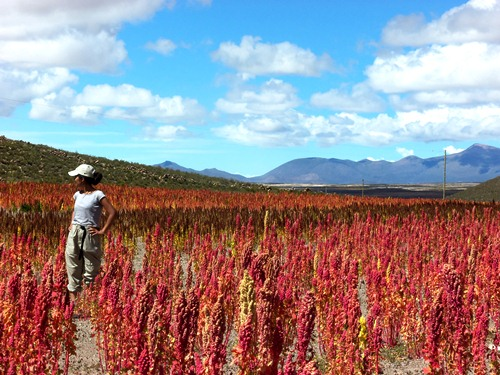 Beautiful pink fileds of Quinoa on the road in Bolivia.
