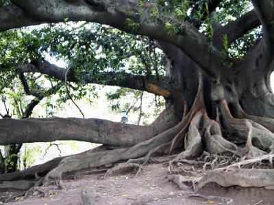 Impressive trees in Buenos Aires.