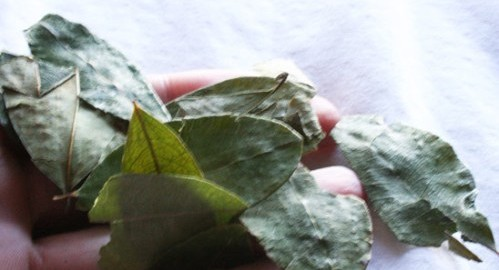 Coca leaves in the Andes.