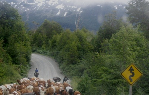 Cows on the road in the very south of Chile's Patagonian Carretera Austral.