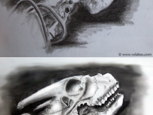 Before and after digital enhancement of a drawing of a goat skull.