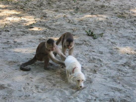In Misahualli, Ecuador, the Amazonian monkeys terrorized dogs.
