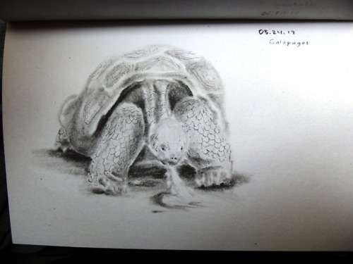 Galapagos Tortoise Drawing
