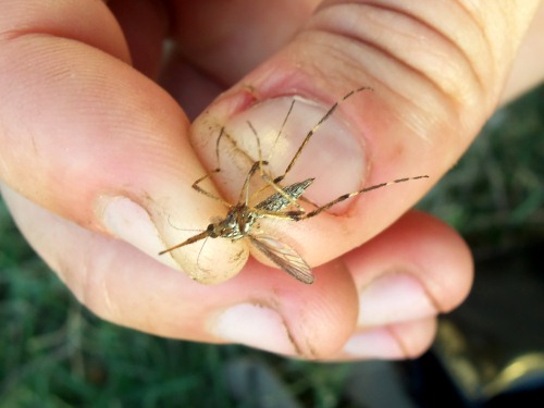 A giant mosquito somewhere in Argentina.