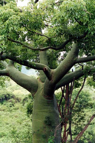 The green tree on Ecuador's coast that looks like Gumby.