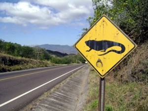 A sign in Nicaragua: look out for iguanas.