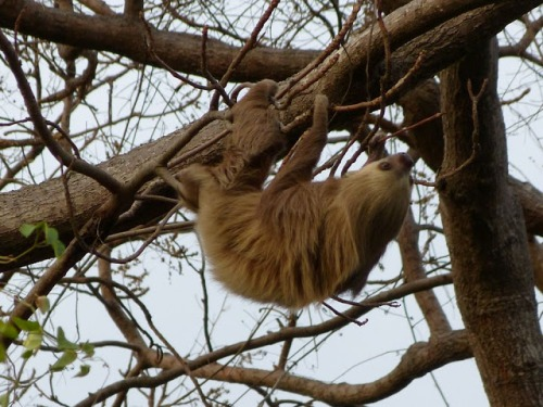 A sloth lazying in the trees of Panama City.