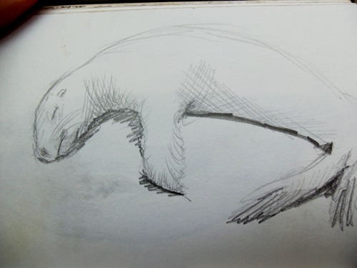 Another drawing of a sleeping sea lion, or sea dog.