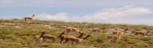 Vicuña in Chacamarca