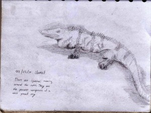 Yucatan Iguana Drawing