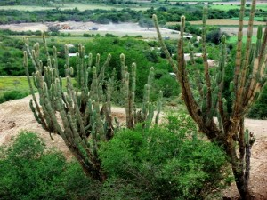 Bolivia San Pedro Cactus