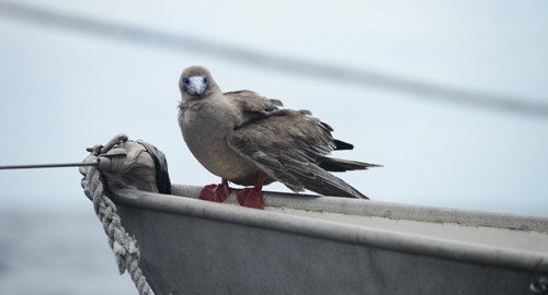 On the sail to San Cristobal, a red-footed boobie landed on Sairam.